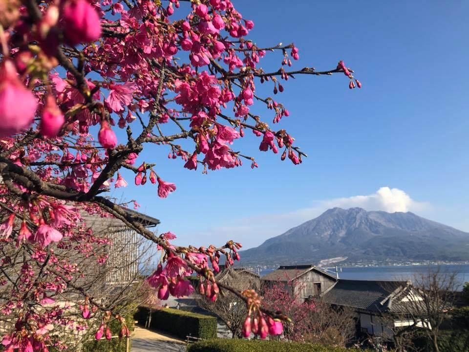 cherry blossom and Sakurajima