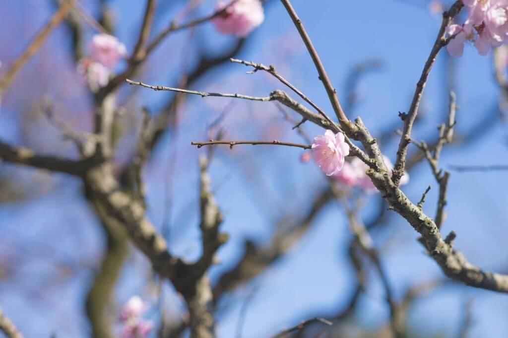 cherry blossoms spring Kyushu