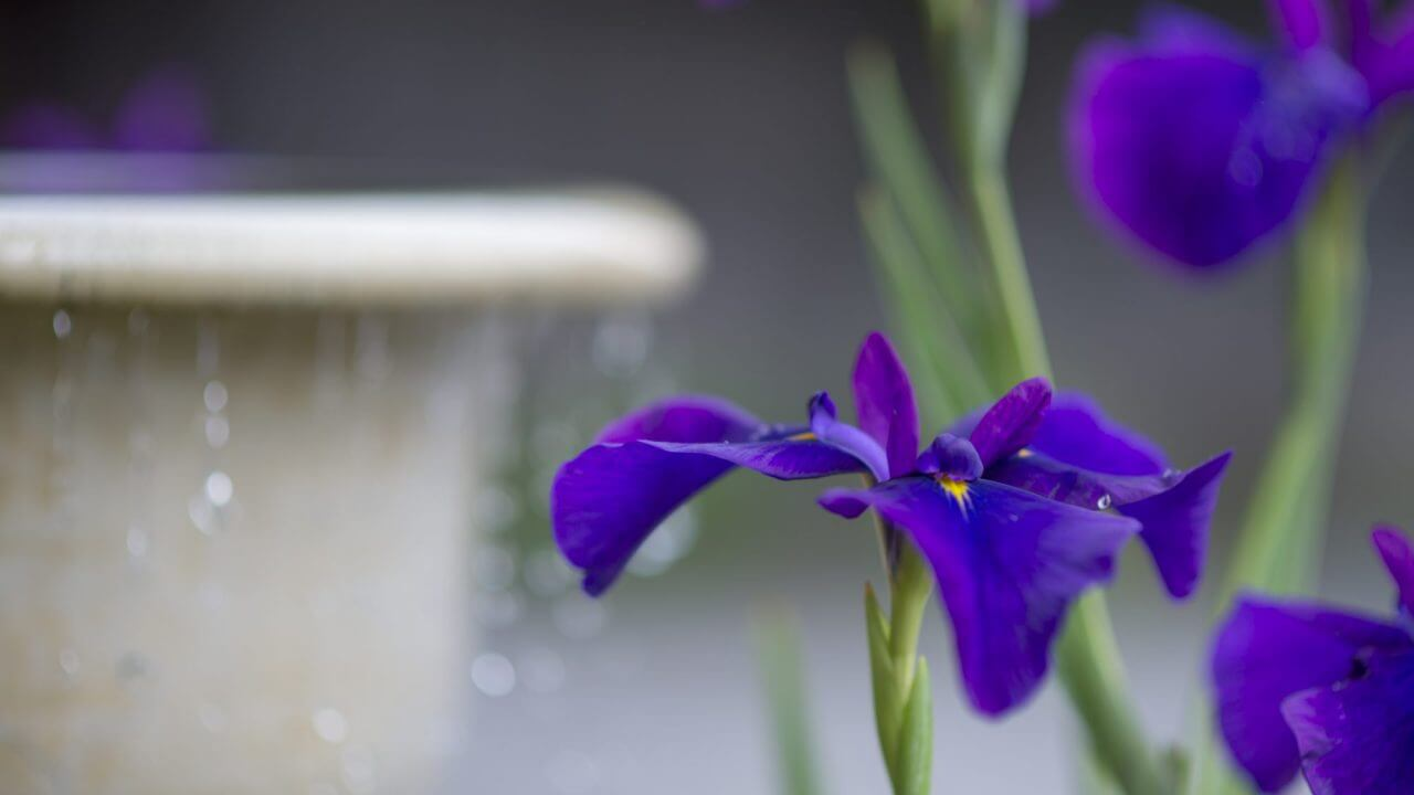 summer irises and water