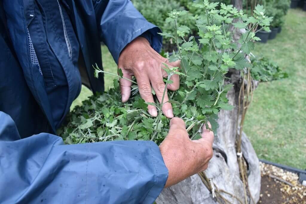 gardener making chrysanthemums